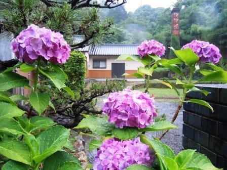 紫陽花1(2017.6.24)