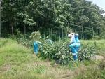お土産用の茄子の収穫