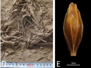 6000 years ago Hordeum vulgare