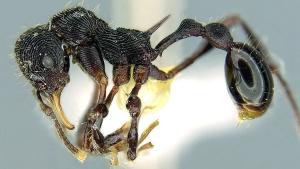 Lenomyrmex hoelldobleri