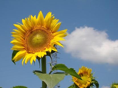 向日葵と雲