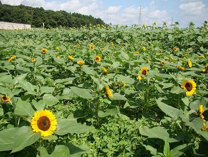 ミニ向日葵畑