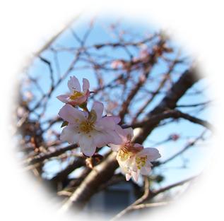 10月桜切り抜き