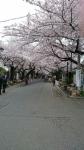 谷中霊園の桜2016年その1