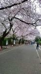 谷中霊園の桜2016年その2