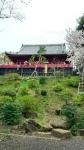 上野公園の桜2016年その1