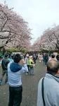 上野公園の桜2016年その3