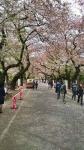 谷中霊園の桜2016年その3