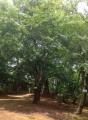 倶利伽羅・猿ヶ馬場のブナ