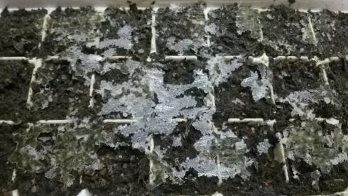 バジルキューブ凍結
