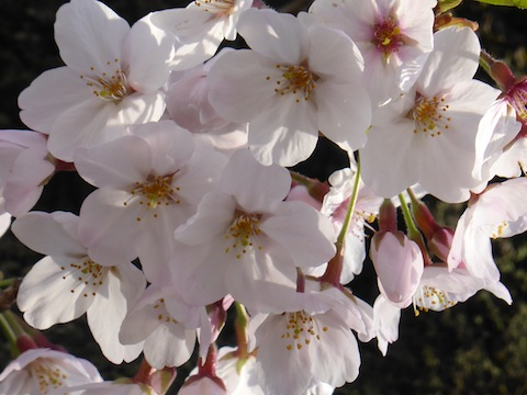 桜P1180193