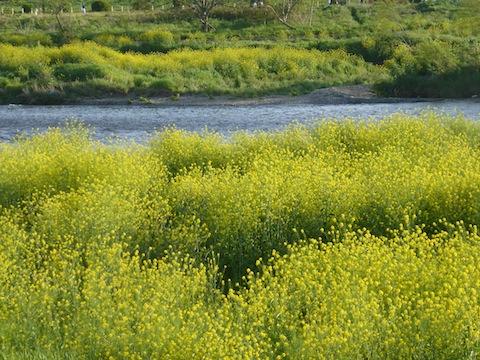 菜の花P1180905