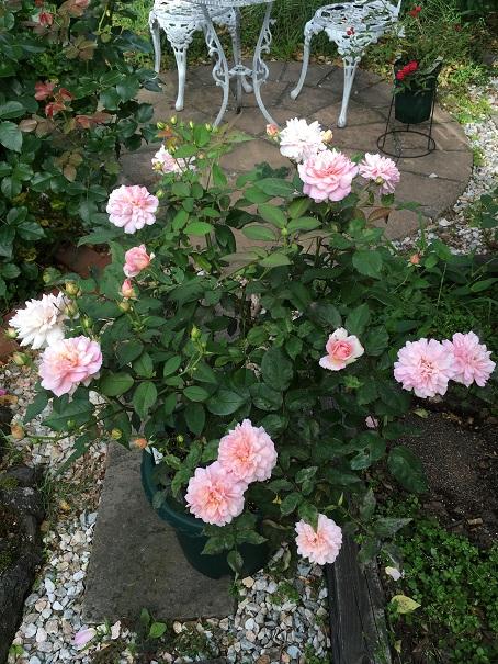 ピンク・グルースアンアーヘン_2016081601