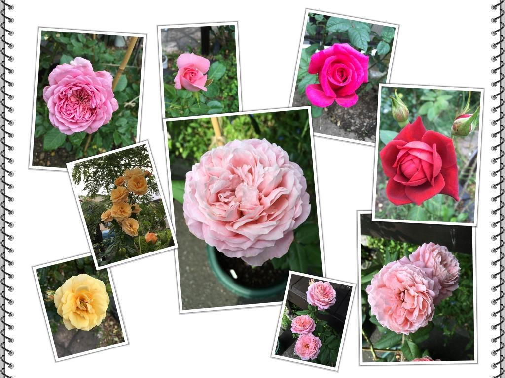 庭のバラ_2016090401