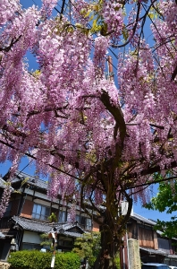 住吉神社境内の藤の花