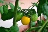トマト (2)