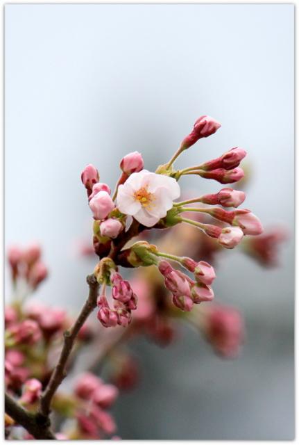 青森県 平川市 猿賀神社 猿賀公園 桜