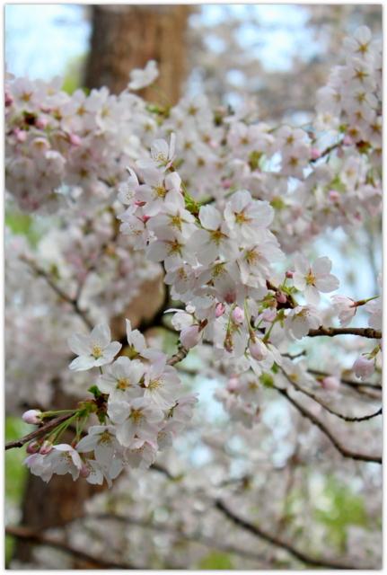 青森県 弘前市 弘前城 弘前公園 弘前さくらまつり 桜 さくら サクラ ひろさき ヒロサキ 観光 写真