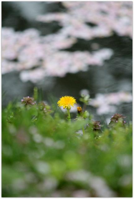 青森県 弘前市 弘前城 弘前公園 弘前さくらまつり 桜 さくら サクラ 写真