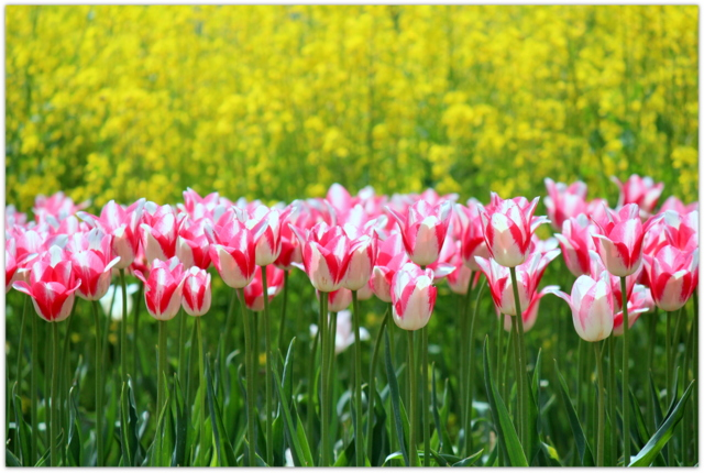 青森県 藤崎町 弘前大学 藤崎農場 チューリップ 花の写真