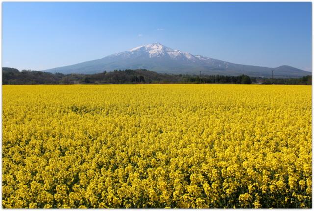 青森県 鰺ヶ沢町 菜の花 写真 花 観光