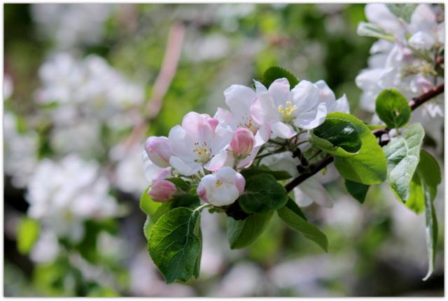 青森県 藤崎町 りんごの花 あかね 写真