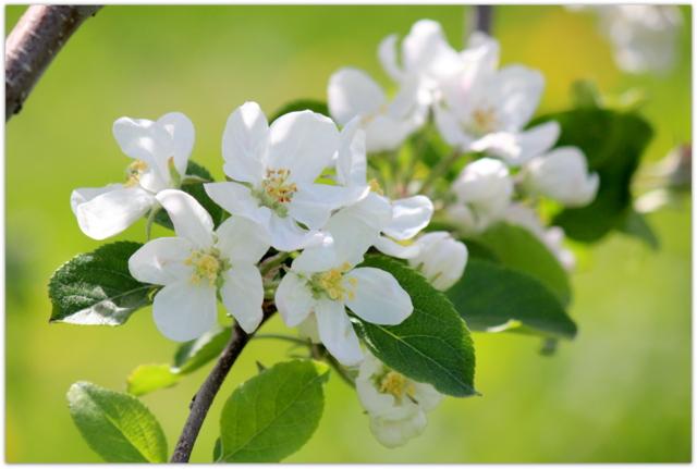 青森県 藤崎町 りんごの花 ふじ 写真
