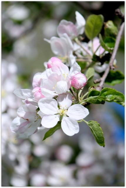 青森県 藤崎町 りんごの花 王林 写真