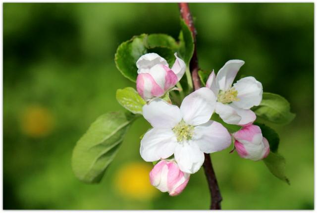 青森県 藤崎町 りんごの花 つがる 写真