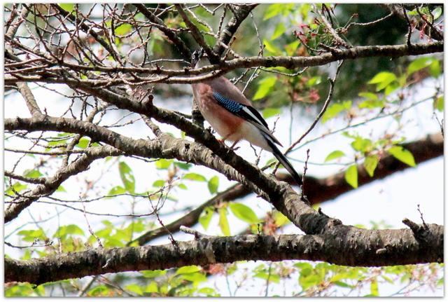 青森県 弘前市 桜林公園 野鳥 カケス ウワミズザクラ 山野草 写真