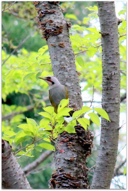 青森県 弘前市 桜林公園 野鳥 アオゲラ 山野草 マイズルソウ センボンヤリ 写真