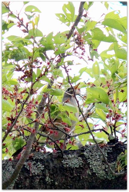 青森県 弘前市 桜林公園 野鳥 マミチャジナイ 山野草 アケボノスミレ アサマリンドウ 写真