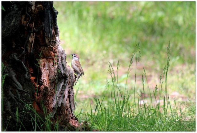 青森県 弘前市 弘前公園 野鳥 スズメ 写真 バードウォッチング