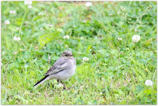 青森県 弘前市 弘前公園 野鳥 写真 ハクセキレイ 親子