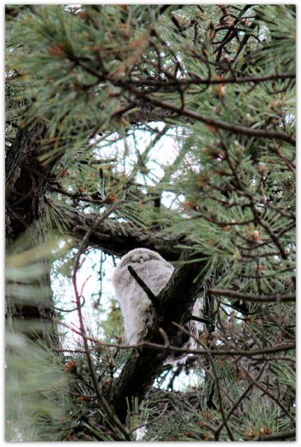青森県 弘前市 弘前公園 弘前城 野鳥 写真 ふくろう フクロウ 梟