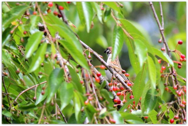 青森県 弘前市 弘前公園 弘前城 野鳥 写真 雀 すずめ スズメ