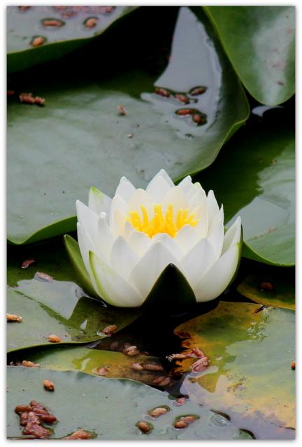 青森県 弘前市 弘前公園 弘前城 蓮の花 カメ 写真