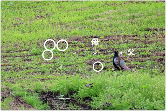 青森県 弘前市 キジ きじ 雉 野鳥 写真 国鳥
