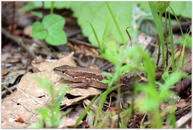 青森県 弘前市 桜林公園 山野草 草花 写真 カナヘビ