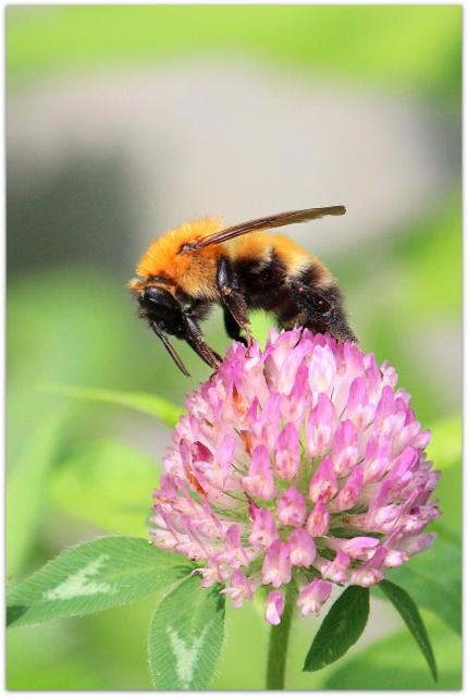 青森県 弘前市 昆虫 写真 クマバチ 蜂 植物 花