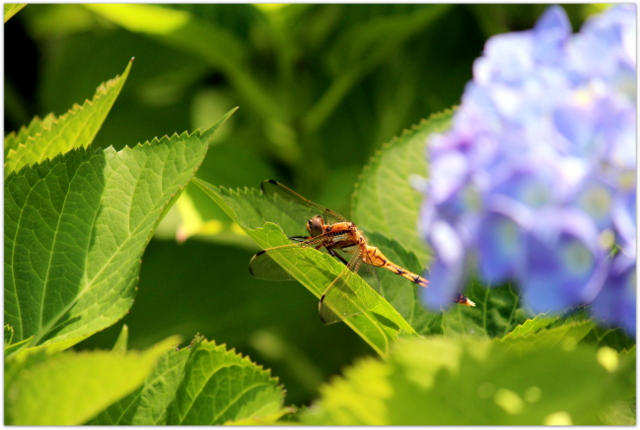 青森県 弘前市 弘前公園 弘前城植物園 花 写真 トンボ 昆虫