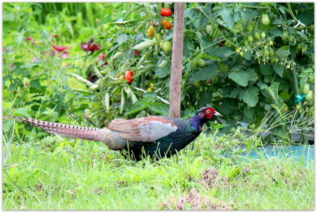 青森県 弘前市 野鳥 鳥 写真 キジ きじ 雉
