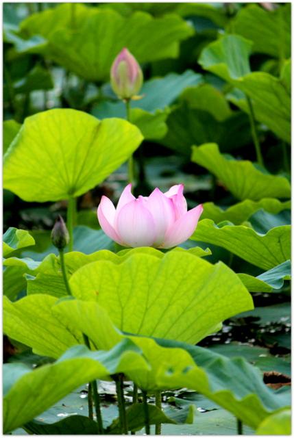 青森県 平川市 猿賀神社 猿賀公園 トンボ 蓮の花 写真 観光