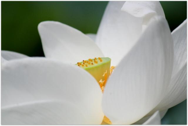 青森県 弘前市 革秀寺 津軽山 曹洞宗 蓮の花 蓮池 白蓮 観光 写真