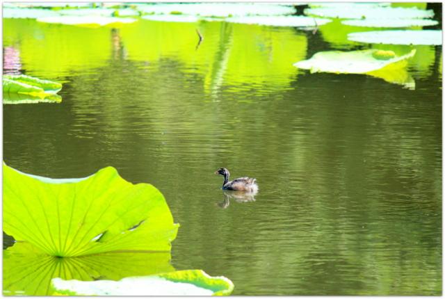 青森県 平川市 猿賀神社 猿賀公園 野鳥 写真 カイツブリ 親子 幼鳥 鳥 蓮の花 観光