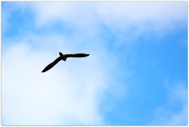 青森県 弘前市 野鳥 鳥 猛禽類 ハヤブサ 写真