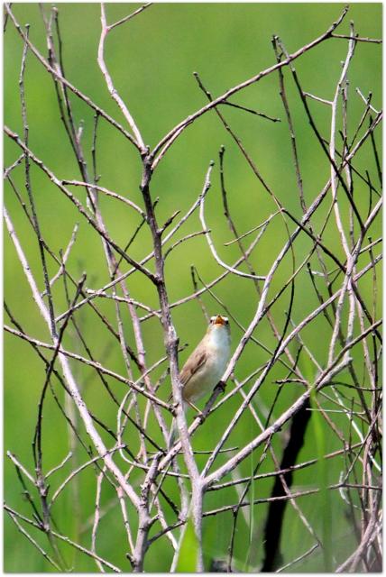 青森県 つがる市 ベンセ湿原 花 ノハナショウブ 写真 野鳥 鳥 コヨシキリ