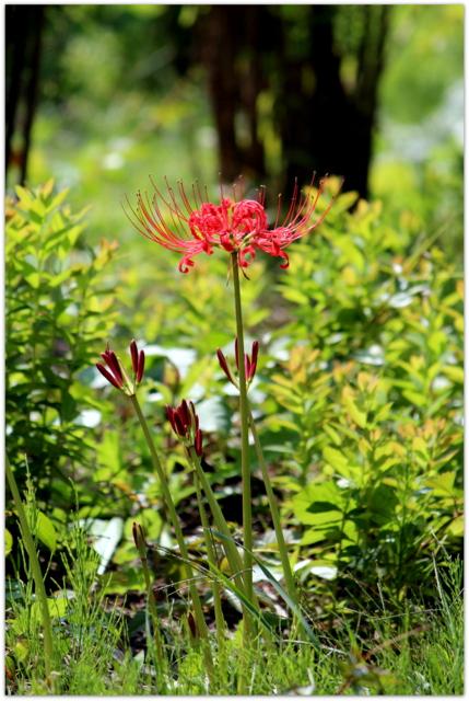 青森県 弘前市 弘前城 植物園 弘前公園 写真 彼岸花 曼珠沙華
