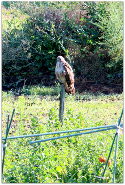 青森県 弘前市 ノスリ 野鳥 鳥 写真 猛禽類