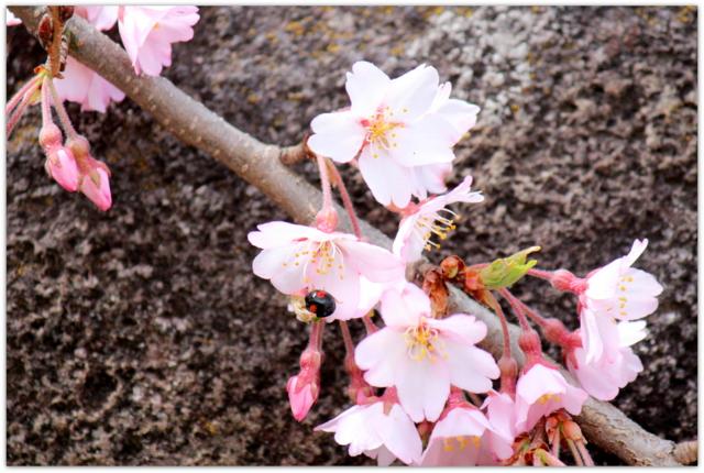 青森県 弘前市 弘前城 弘前公園 枝垂れ桜 花 写真